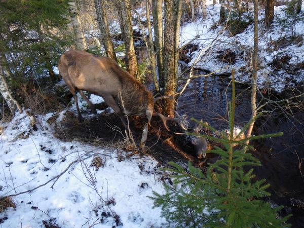 Stora hjorten försöker dra upp den döda